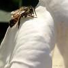 A Texas bee on a sacred thorn-apple blossom (Datura wrightii)