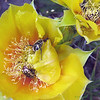 Tasty prickly pear blooms (Opuntia phaeacantha)