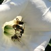 Sacred thorn-apple (Datura wrightii) enduring a Texas bee invasion