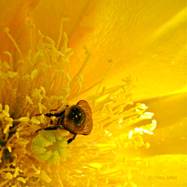 Texas bee in prickly pear blossom (Opuntia sp.)
