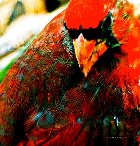 Color Study - red 2<br /> My Master Sergeant<br /> Northern Cardinal, male - Cardinalis cardinalis, Linnaeus 1758