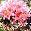The gorgeous & delicate blossoms of the barrel cactus (Echinocactus texensis) the famed Texas horse crippler