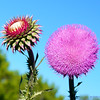 The very pretty Texas thistle (Cirsium texanum)