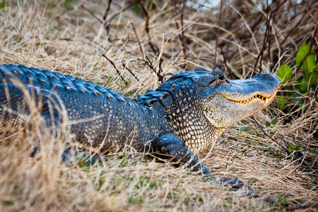 I don't think you can sneak up on one of these guys. American Alligator at Brazos Bend State Park south west of Houston Texas.