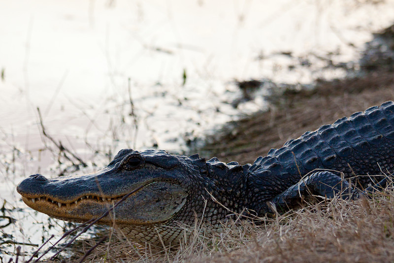 A mid-sized American Alligator posing at Elm Lake in Brazos Bend State Park.