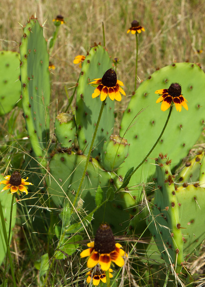 Texas Hill Country Flowers.