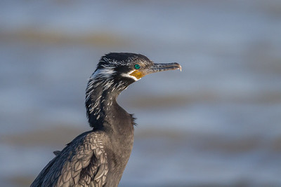 Cormorant, Neotropical
