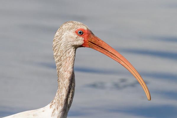 Ibis,White