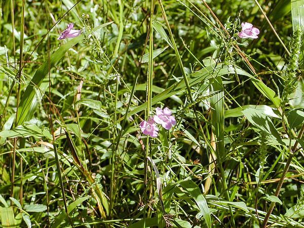 Agalinis purpurea - Purple False Foxglove