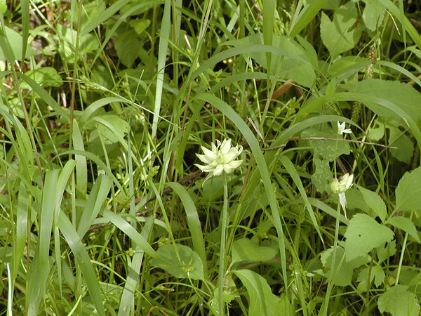 Allium canadense - Wild Onion