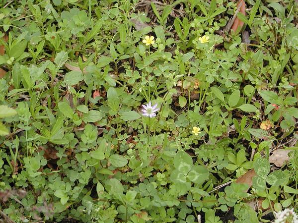 Anemone berlandieri - Ten Petal Anemone (Windflower)
