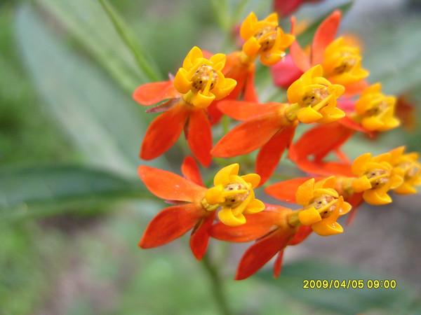 Asclepias tuberosa - Butterfly Milkweed