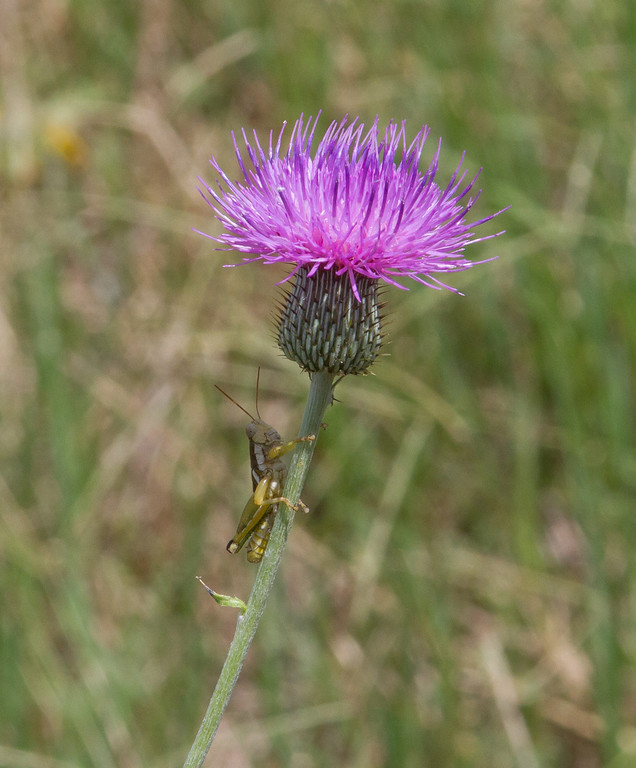 Cirsium texanum - Texas thistle