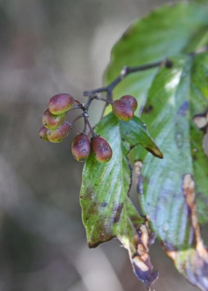 Berchemia scandens - Rattan Vine