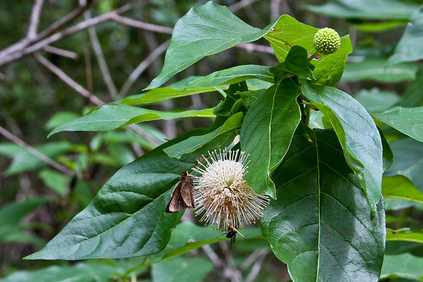 Cephalanthus occidentalis - Buttonbush