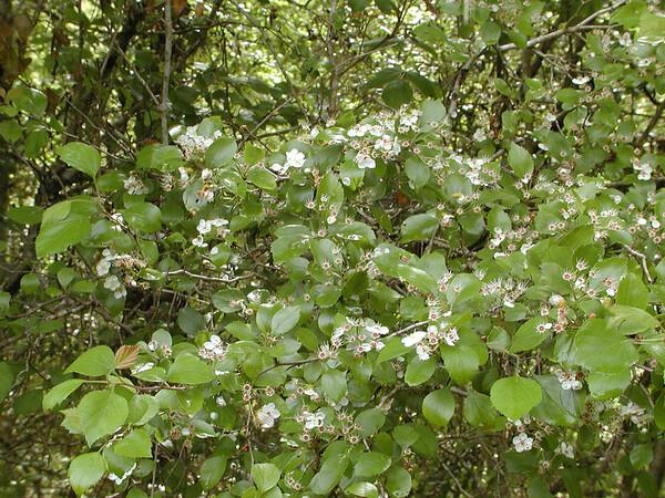 Crataegus sp - Hawthorn