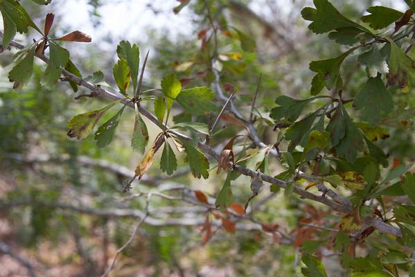 Crataegus spathulata - Little hip Hawthorn (Pasture Haw)