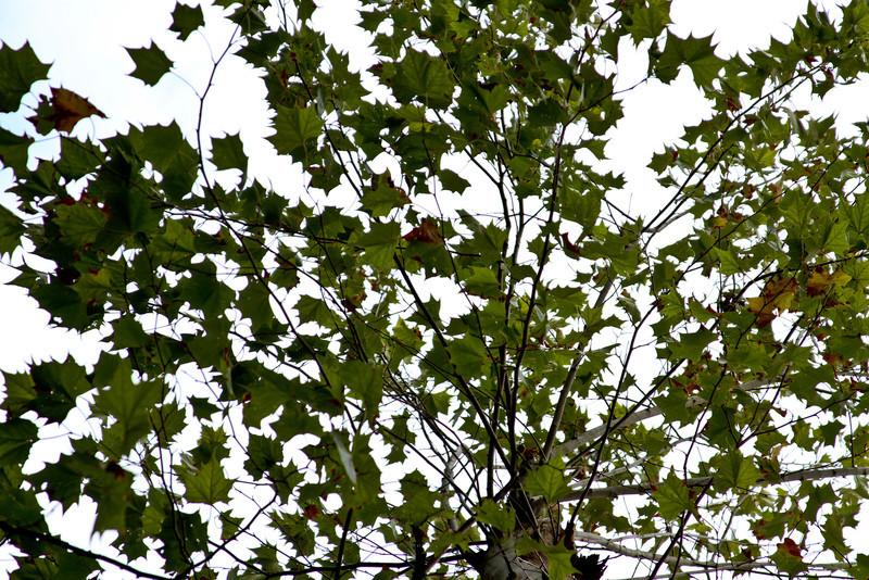 Platanus occidentalis - American Sycamore