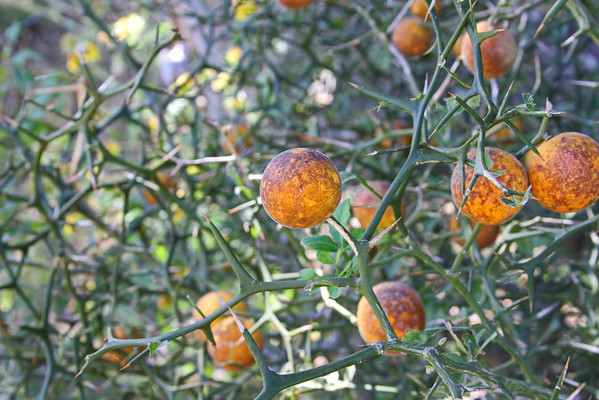 Poncirus trifoliata - Trifoliate (Hardy) Orange