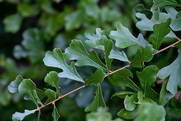 Quercus lyrata - Swamp Post (Overcup) Oak