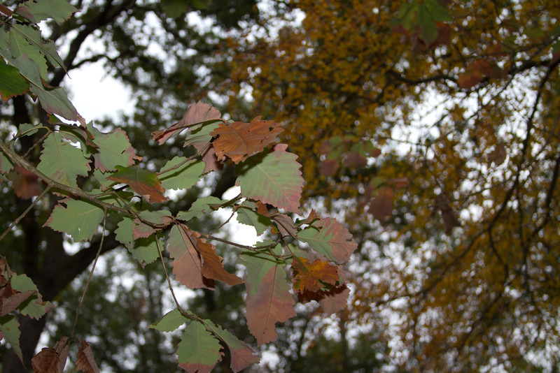 Quercus michauxii - Swamp Chesnut Oak
