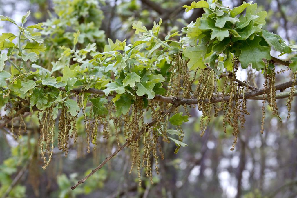 Quercus similis - Bottomland Post Oak