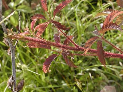 Rubus sp. - Dewberry (to be identified)