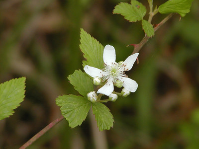 Rubus triviallis - Southern Dewberry