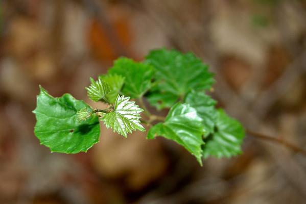 Vitis rotundifolia - Muscadine Grape