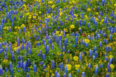Bluebonnets, Yellow Primrose, and Goldenrod 2