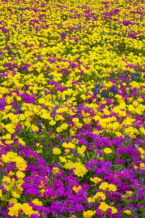 Yellow Primrose and Purple Phlox