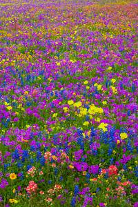 South Texas Wildflower Field
