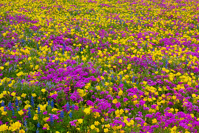 Field of Mixed Wildflowers with Purples and Yellows