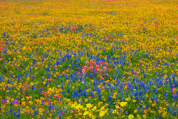 Field of Mixed Wildflowers in South Texas