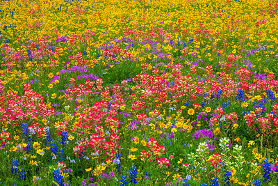 Field of Mixed Wildflowers with Paintbrush