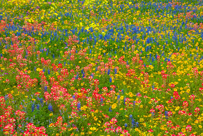 Spring Wildflower Mix in South Texas