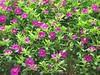 purple flowers cl - Minneapolis Walker Sculpture Garden