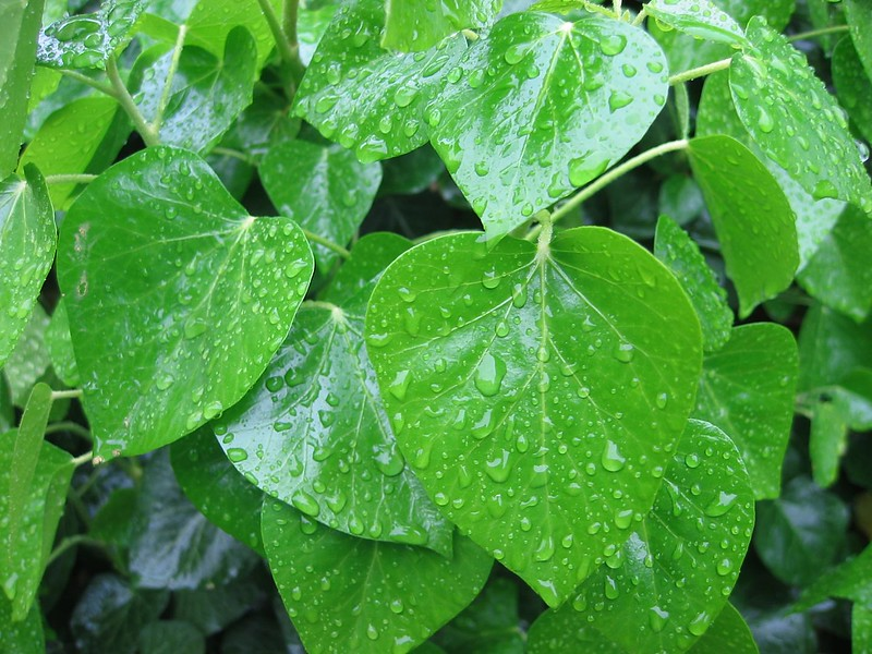Rain drops on shiny heart-shaped leaves at US National Arboretum, WashDC