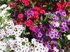 White Purple and Pink small annuals - Filoli Gardens, San Mateo