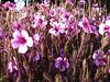 5-petaled purple flowers cl - Golden Gate Park