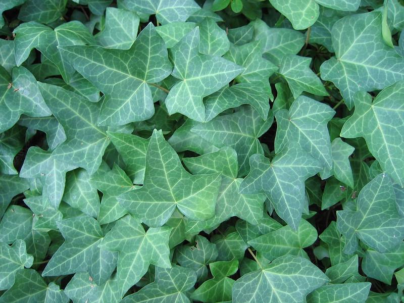 Ivy (Duke Gardens, Aug 2 2006)