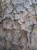 Pine bark (Duke Gardens, Aug 2 2006)