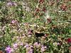 Red berries and purple flowers - Filoli Gardens, San Mateo