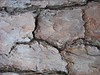 Pine tree's bark cl, Umstead Park, Reedy Creek section, NC