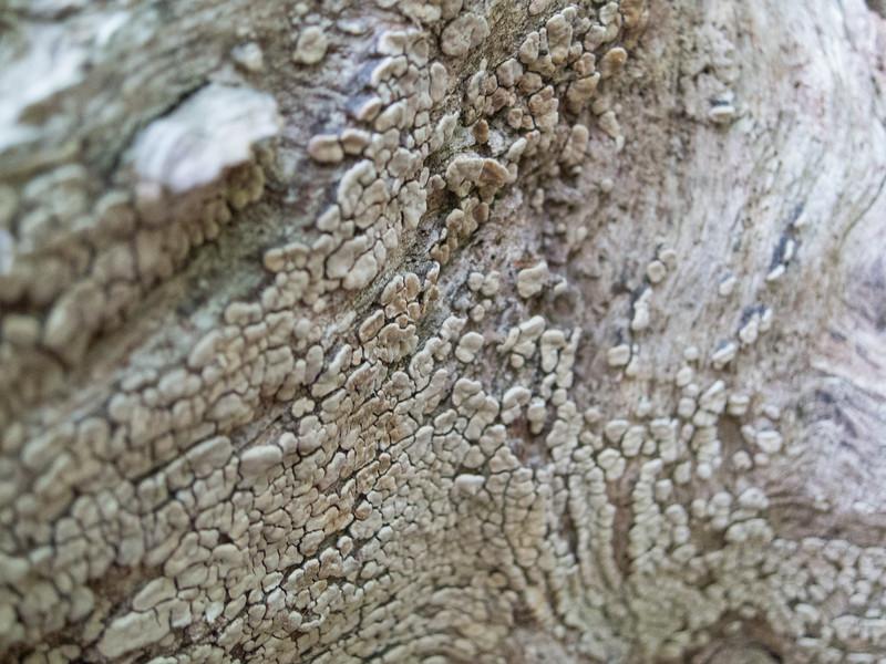 20140501 (1716) - bark, Eno River State Park, Durham NC