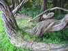 Gnarled root - GG Park