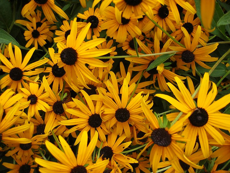 Looking down at bunch of Black-Eyed Susan - Rudbeckia fulgida var