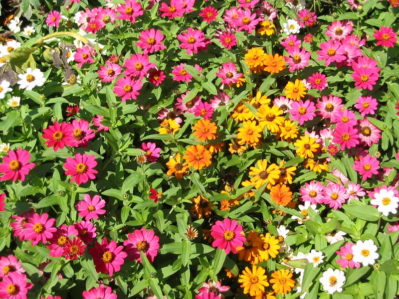 Pink Yellow and White annuals - Elizabeth Park, Hartford