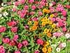 Pink Yellow and White annuals - Elizabeth Park, Hartford