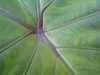 20140326 (1640) - Elephant Ear (Colocasia) at Museum of Life and Science butterfly house, DurhamNC cl